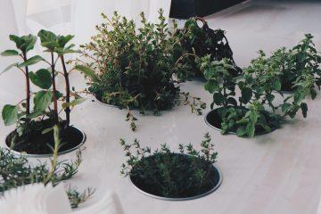 zioła w doniczkach