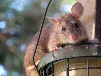 szczury w domu